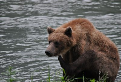 bear-on-chilkoot-river-800x531