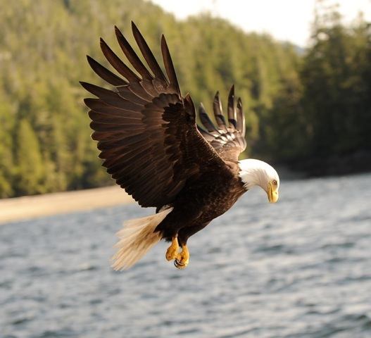 Eagle feed on the plentiful salmon of the Chilkat River