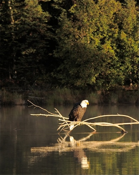 The Bald Eagle Preserve in Haines offers great Bald Eagle viewing