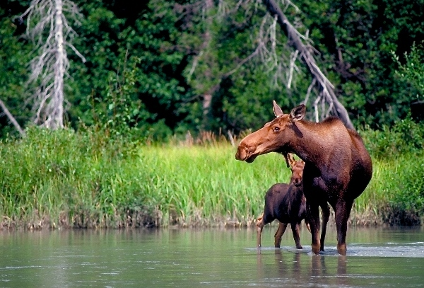Moose and her calf spotting along the banks of the Chilkat River