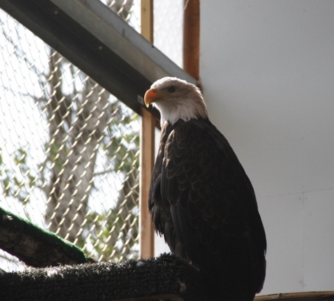 Bald Eagle at the Foundation waiting for lunch