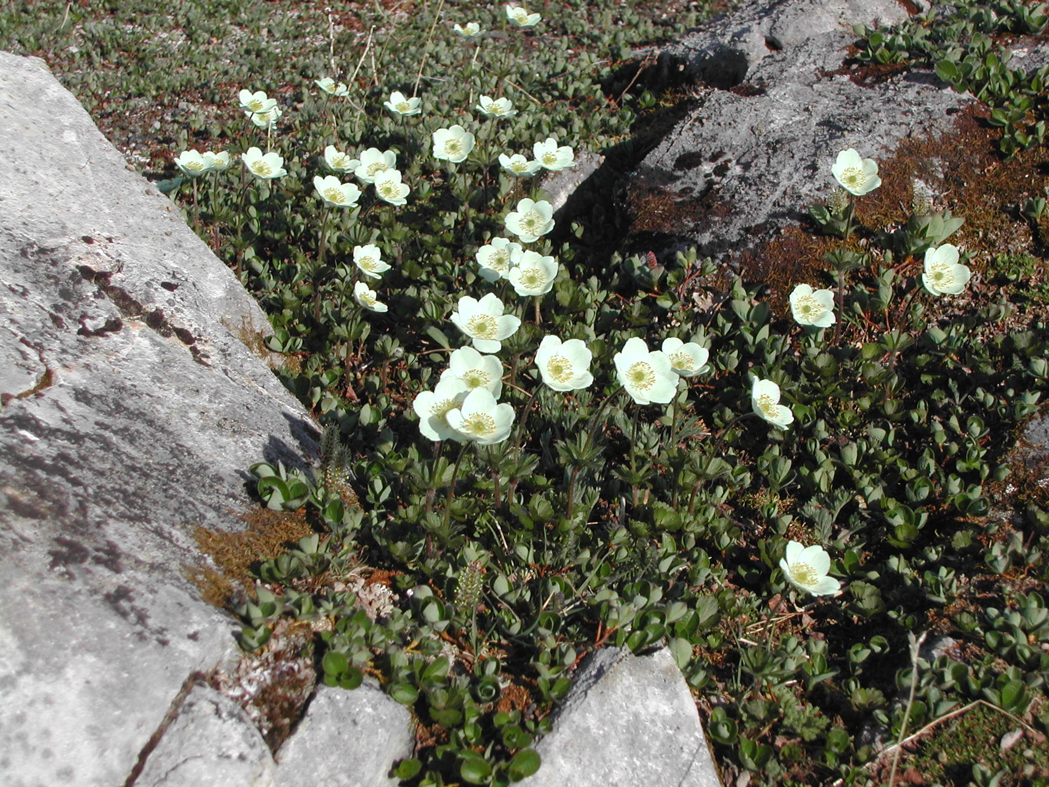 Wildflowers in July in the alpine tundra