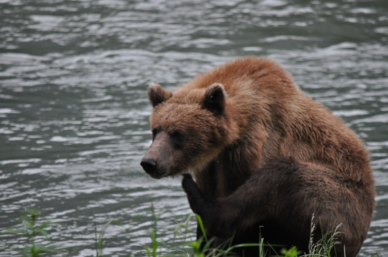 Brown bears frequent the Chilkoot River for easy fishing