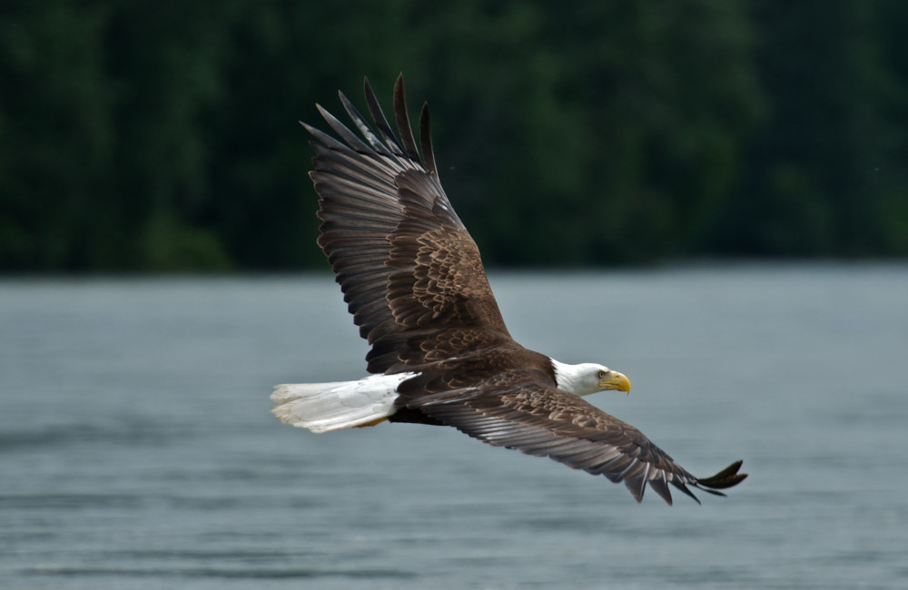 We'll often spot Bald Eagles along the shoreline