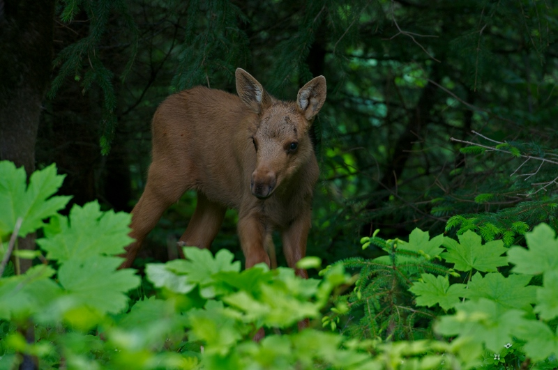 Baby moose grazing the early summer vegetation