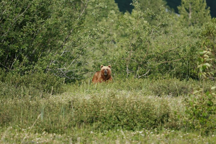 A Brown Bear emerges from the grasses outside of Haines