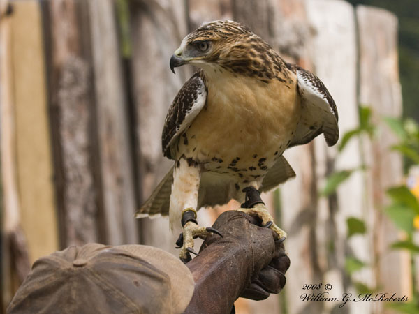 The Foundation hosts Red Tail Hawks & other Birds of Prey