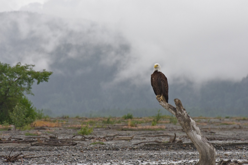 Eagle fishing on the banks of the Chilkat River