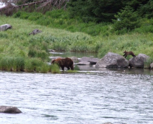 Excellent Bear viewing on the Chilkoot River