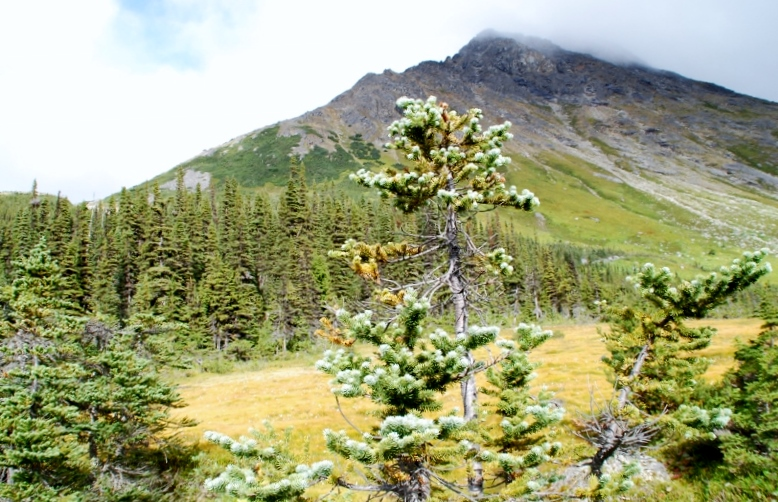 Alpine Tundra and boreal forests of northern BC