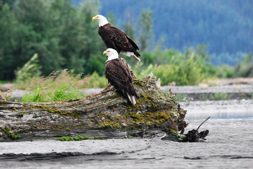 Abundant Bald Eagles feed on Salmon in the rivers.
